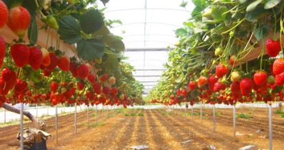 Бизнес на выращивании клубники
